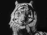 Tiger doneee