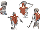 Skelly   Upper Back Muscles