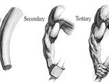 primary secondary tertiary forms of the arm